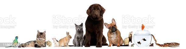 Group of pets sitting white background picture id115640271?b=1&k=6&m=115640271&s=612x612&h=jbjdonhx5cirw1dusjm4ktefttwdxbqtnlhdf8pza9m=