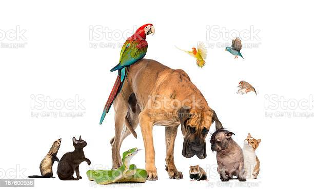 Group of pets together isolated on white picture id167600936?b=1&k=6&m=167600936&s=612x612&h=arvlspk7r0zlke9e9lt4c4x1r9dtxrzvbeysbpr2f2m=