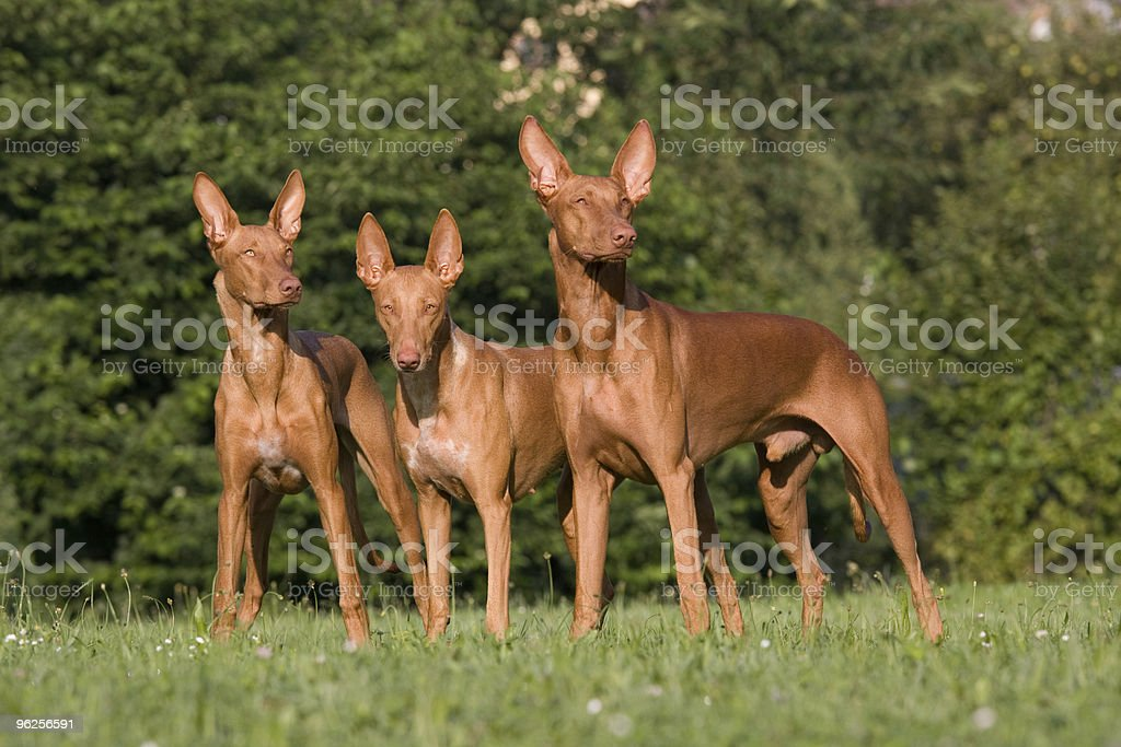 Group of Pharaoh Hound dogs stock photo