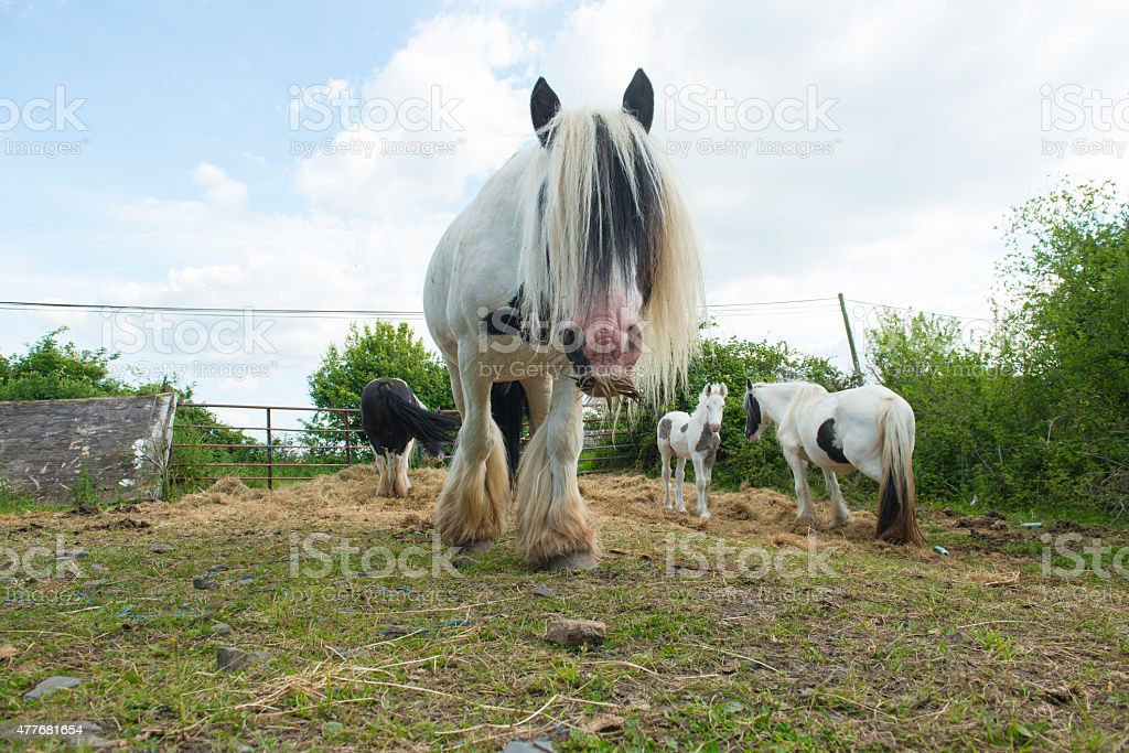Group of piebald horses in a field stock photo