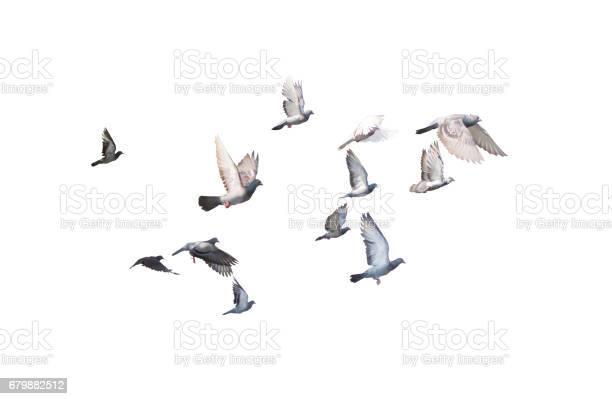 Group of pigeon flying isolated for dicutclipping inside picture id679882512?b=1&k=6&m=679882512&s=612x612&h=aym549ydjpo7pqxpxehbpan6rqqw0csj9voa3qoesq4=