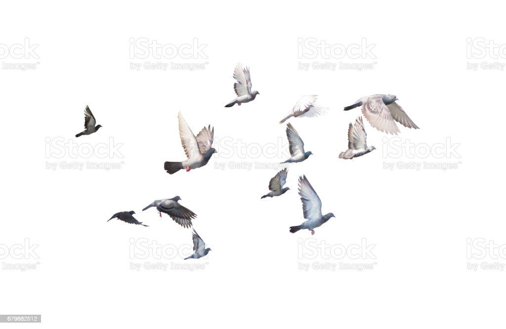 group of pigeon flying isolated for dicutClipping inside stock photo