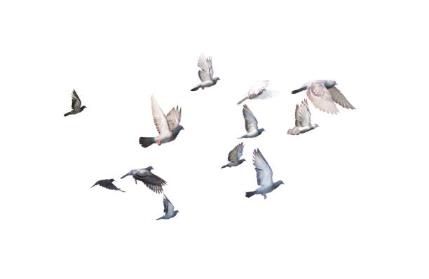 group of pigeon flying isolated for dicutClipping inside group of pigeon flying isolated for dicutClipping inside pigeon stock pictures, royalty-free photos & images