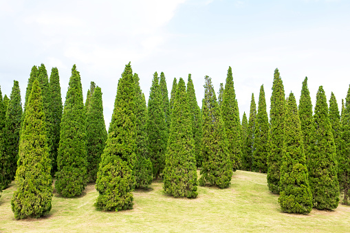 Group of Pine tree on grass field background