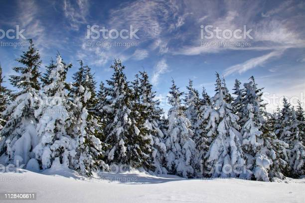Photo of Group of pine trees covered by thick mantle of snow and bended by winds in Babia hora mountain, Oravske Beskydy Beskid Zywiecki Orava Slovakia Podhale Poland Eastern / Central Europe
