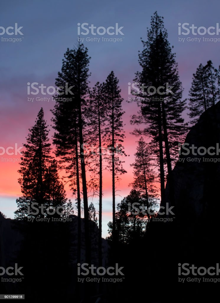 Group of Pine Trees Stand Together in Silhouette at Sunset in Yosemite National Park stock photo