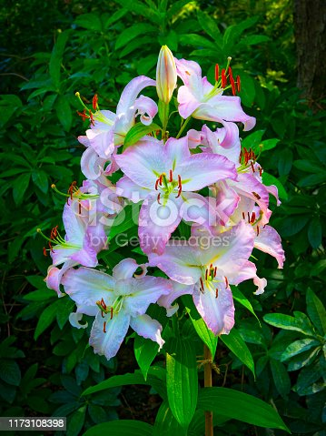 Group of pink and white Oriental Lilies in full bloom, topped with a bud, set against dark green foliage.