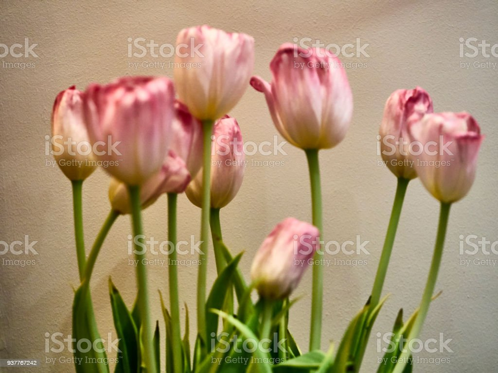 Group of pink and white tulips stock photo