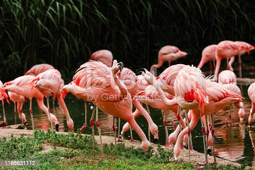 A group of pink flamingos hunting in the pond, Oasis of green in urban setting, flamingo.