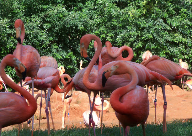 A group of pink flamingos stock photo