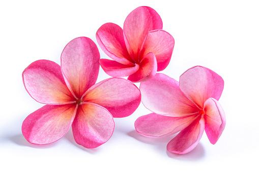 Group of Pink Plumeria Flowers