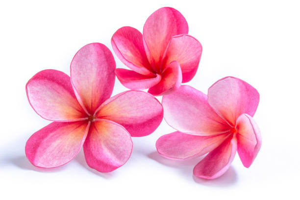 group of pink plumeria flowers - hawaiian flowers stock photos and pictures
