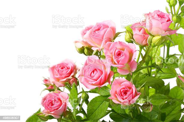 Group of pink roses with green leafes picture id498508307?b=1&k=6&m=498508307&s=612x612&h=kqk9mv2hnuvzpiphdlm d9juzbodh7q4w47j8bq0gxm=
