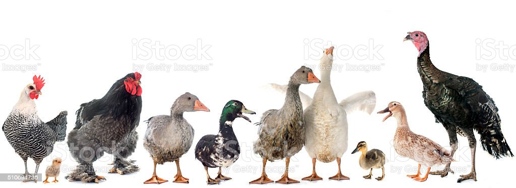 group of poultry stock photo