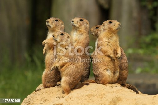 Group of prairie dogs standing uprightFor more pictures of