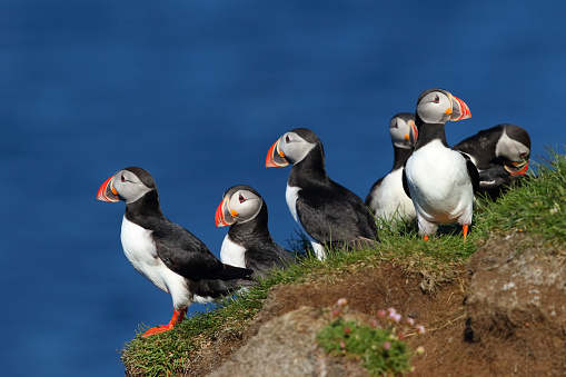 istock Group of puffins in Latrabjarg cliffs in iceland 936600376