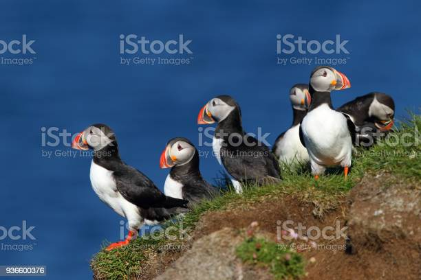 Group of puffins in latrabjarg cliffs in iceland picture id936600376?b=1&k=6&m=936600376&s=612x612&h=6mclgpcujwpvkflg2bvogwx3mzdls9v74fxeuo 7gs0=