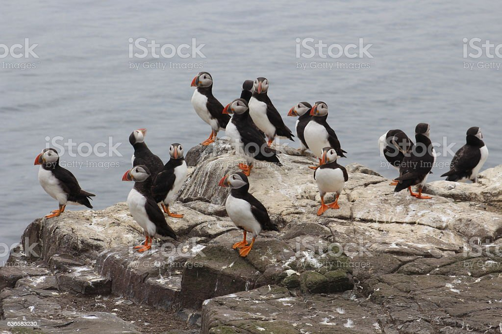 Group of puffins on rock stock photo