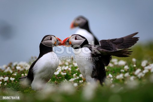 group of puffins; Skomer Island, United Kingdom