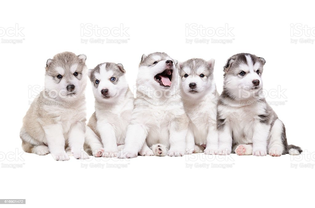Group of puppies breed the Huskies stock photo