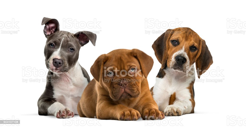 Group Of Puppies Lying Against White Background Stock Photo More