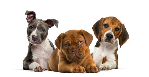 group of puppies lying against white background - puppy stock pictures, royalty-free photos & images