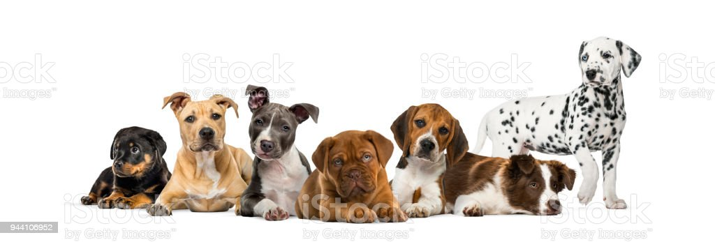Group Of Puppies Lying In Front Of A White Background Stock Photo