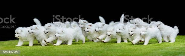 Group of puppies of samoyed dog running on green grass picture id589447052?b=1&k=6&m=589447052&s=612x612&h=7gvubnmhy4kngyullnnzjcbwh74 lvf oecxs9zh8t8=