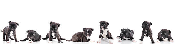 Group of puppies on white background picture id157529316?b=1&k=6&m=157529316&s=612x612&w=0&h=fyjqnqcbmnjudgzetkrziyi06eehwlu z7 36qiqt0s=