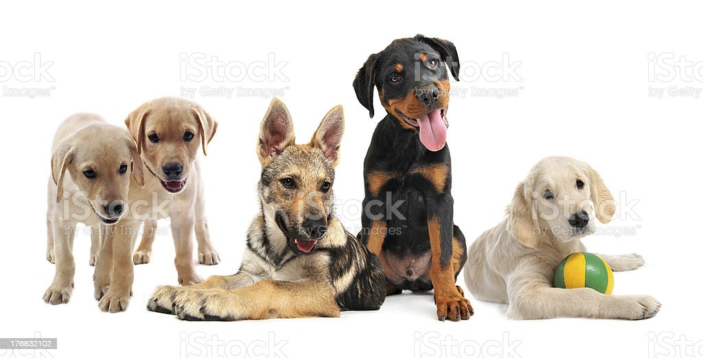 group of puppies royalty-free stock photo