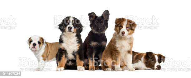 Group of puppies sitting in front of a white background picture id944107034?b=1&k=6&m=944107034&s=612x612&h=atisaakmfsfsqwyh6zdkc7gac3od90b8bn k9a1vdzm=