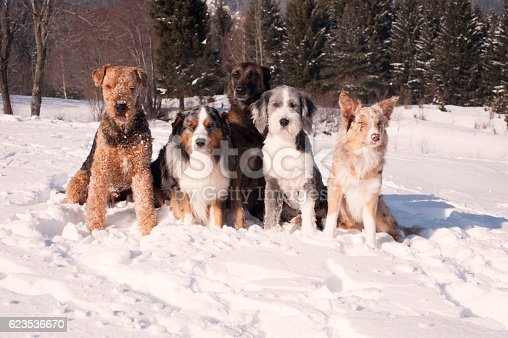 istock Group of purebred dogs sitting in a snow 623536670