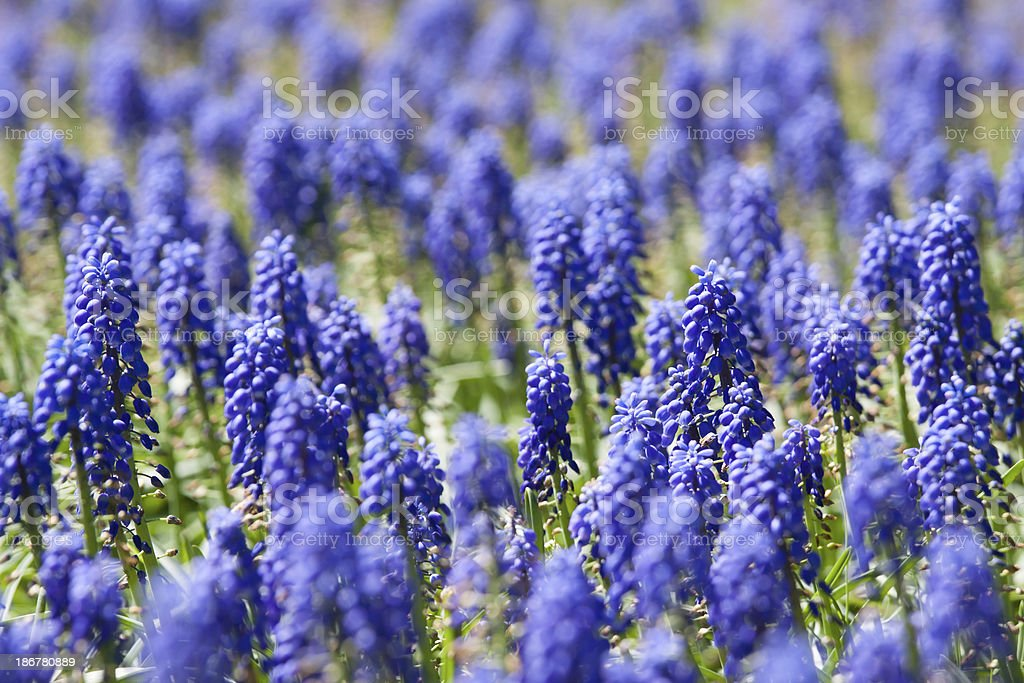 Group of Purple bells flowers royalty-free stock photo