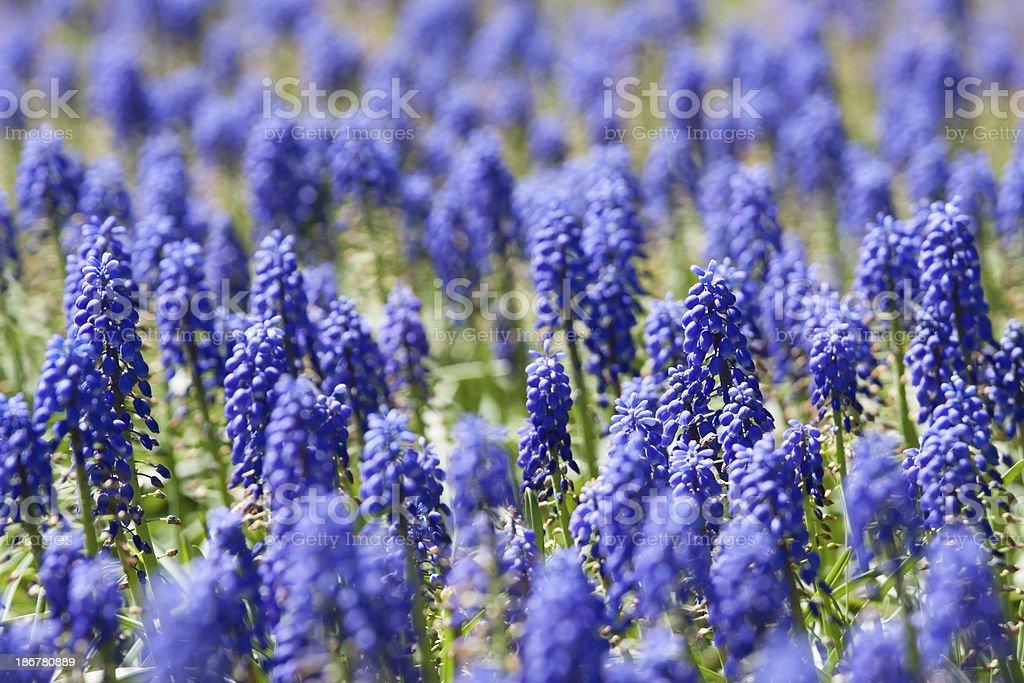 Group of Purple bells flowers stock photo