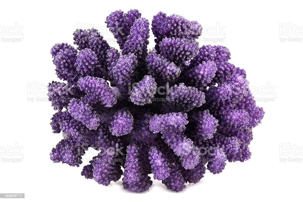 A group of purple coral on a white background stock photo