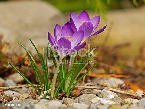 Group of purple crocus flowers