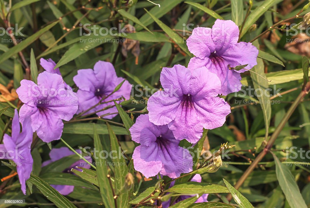 Group of purple ruellias flower in the garden royalty-free stock photo