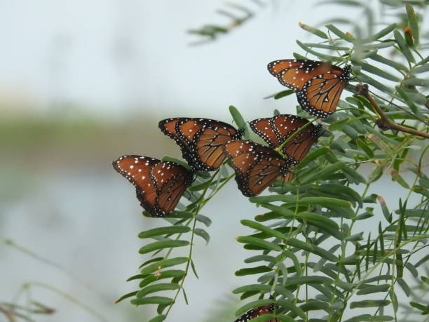 Group of queen butterflies on a leafy branch stock photo