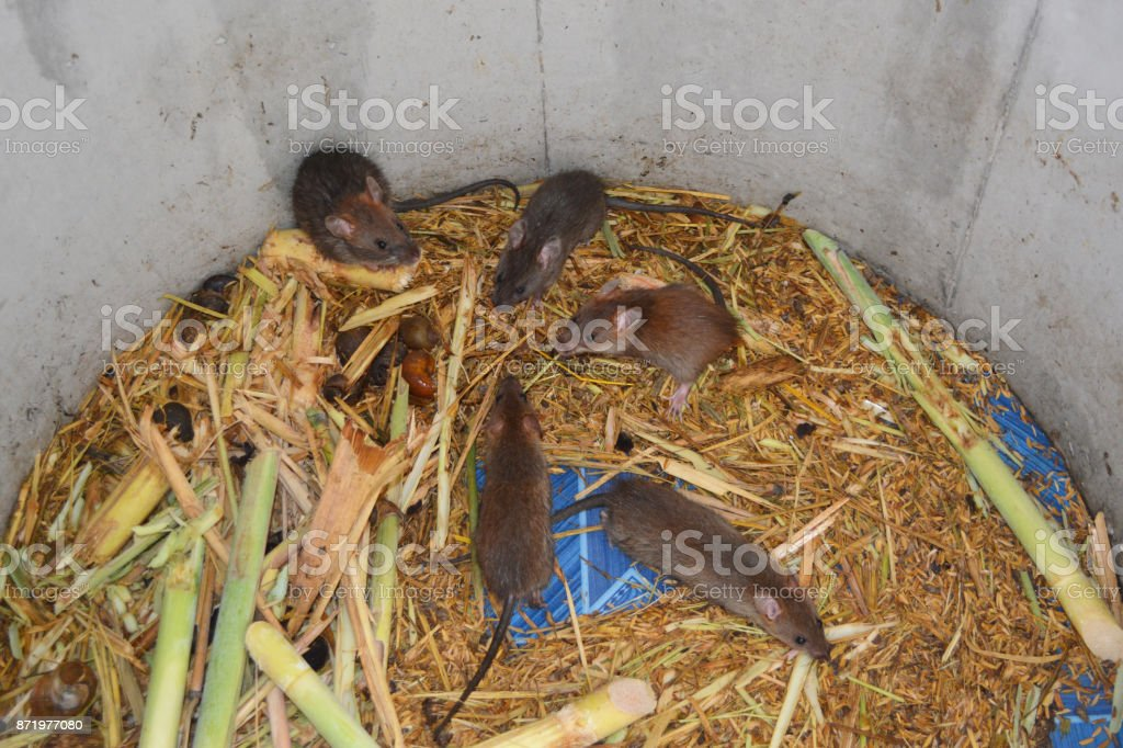 group of rats and food in cement tube at farm,the new business in Thailand stock photo