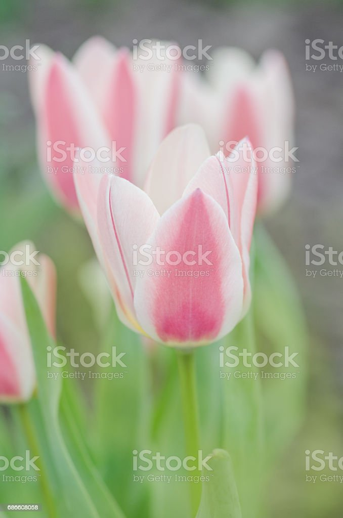 Group of red and white tulips in garden. Rosy Dream tulip royalty-free stock photo