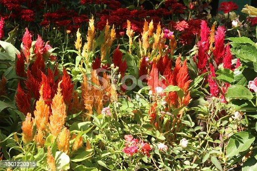 group of red and yellow blossoms named Prince Of Wales Feathers, Celosia argentea, Cockscomb in full sunlight