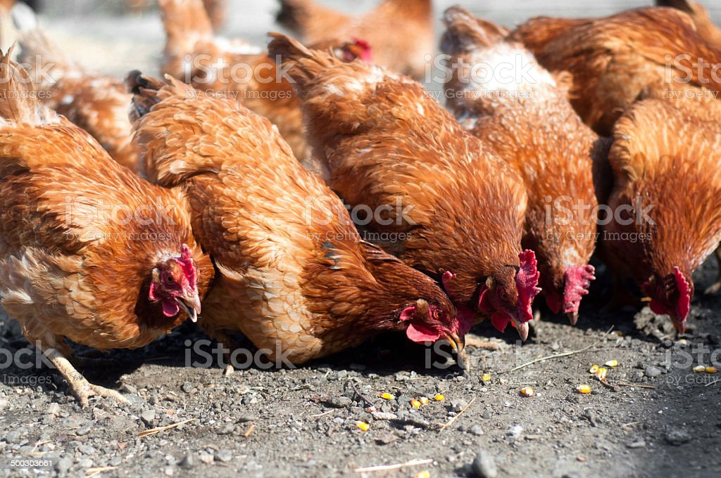 group of red, farm chickens eating corn in the countryside stock photo