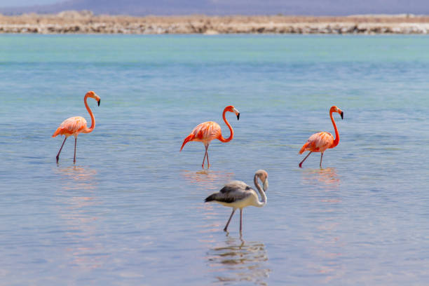 Group of red flamingos in lake on coast stock photo