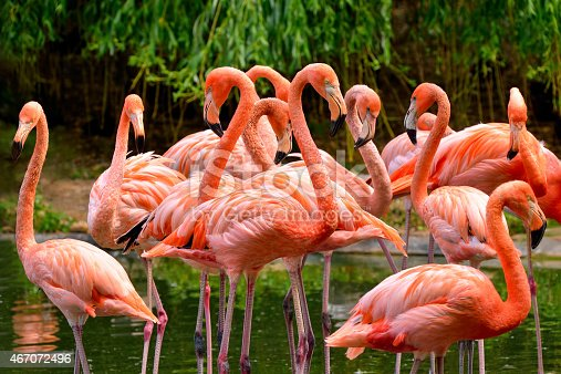Group of red flamingos at the water, with green foliage in the background
