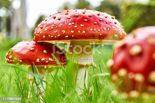 Closeup of a group of fly agaric, fly amanita or amanita muscaria mushrooms in autumn. Three red white dotted poisonous mushrooms in green grass. Low angle shot.