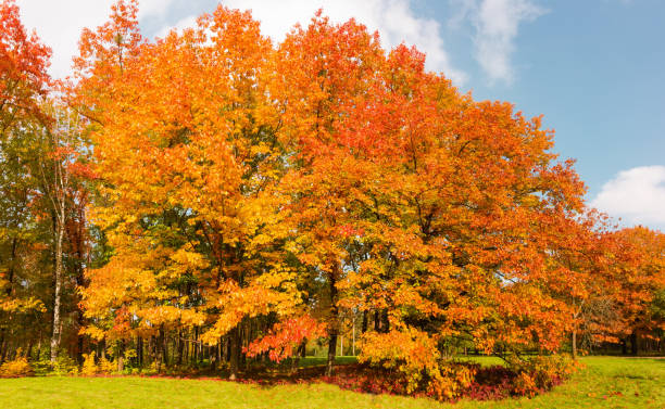 Group of red oaks with autumn leaves in park stock photo