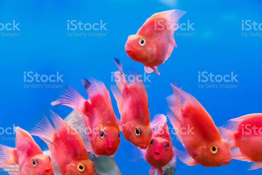 Group of red parrot cichlid photo libre de droits