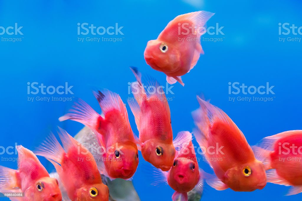 Group of red parrot cichlid stock photo