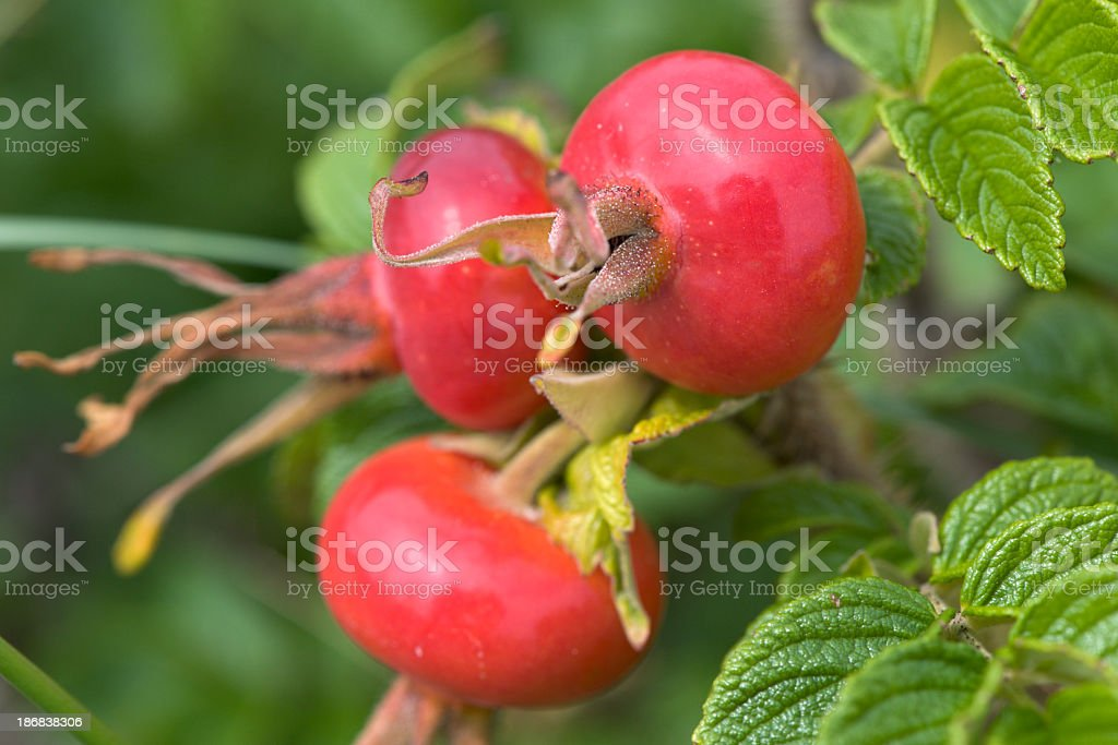 Group of red rose hips with leaves royalty-free stock photo