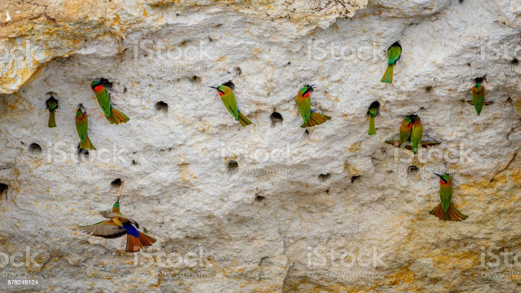 A group of red throat bee eaters stock photo